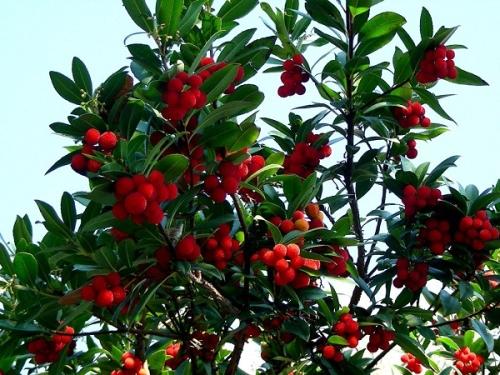 дерево клубничное фото