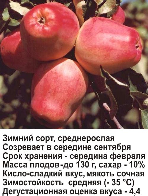 кандиль орловский фото